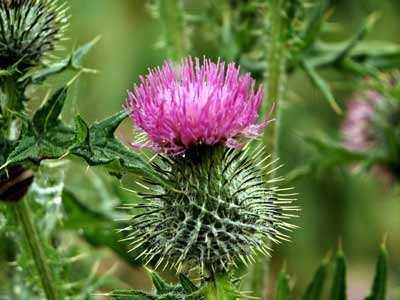 Flower_of_Scotland