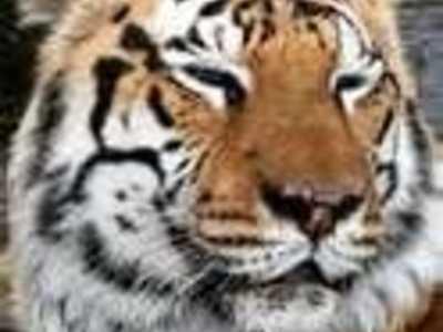 tigerking