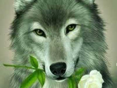 wolfrose